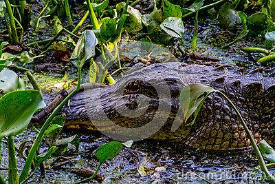 A Wild Alligator (Alligator mississippiensis) Lurking in the Tangled Vines of the Swamps of Brazos Bend