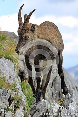 Free Wild Alpine Ibex - Steinbock Portrait Stock Photography - 33855282