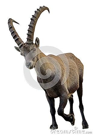 Free Wild Alpine Ibex - Steinbock Portrait Stock Images - 35427434