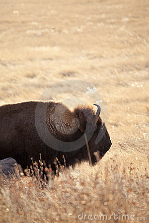 Wild american bison