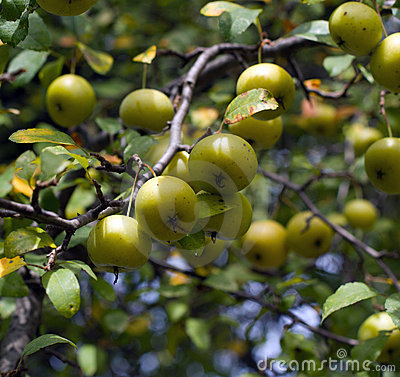 Wild American Crab Apples on the Tree