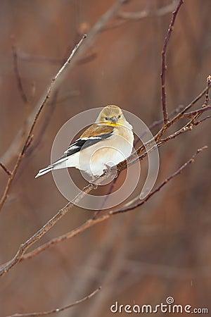 Wild American Goldfinch in Winter Plumage