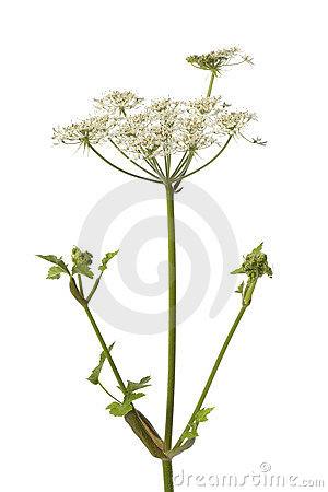 Wild Angelica flower