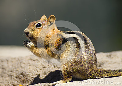 Wild Animal Chipmunk Stands Eating Filling up For Winter