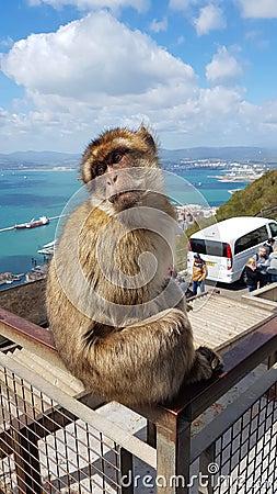 Free Wild Ape In Gibraltar Stock Image - 134129791