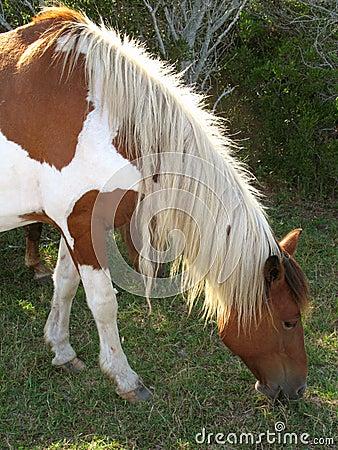 Wild Assateague Horse