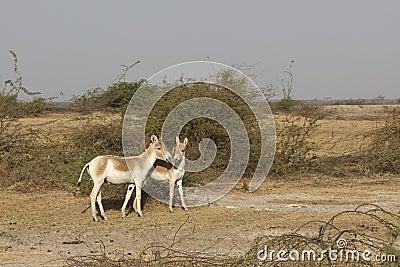 Wild asses