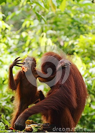 Free Wild Baby And Mom Orangutans Borneo Phone Wallpaper Stock Photo - 104651940