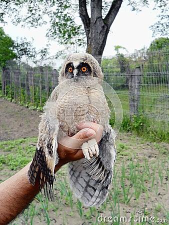 Wild baby owl