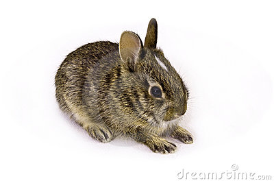 Wild Baby Rabbit Royalty Free Stock Images Image 6442059