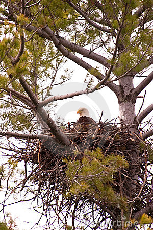 Wild Bald Eagle on Nest