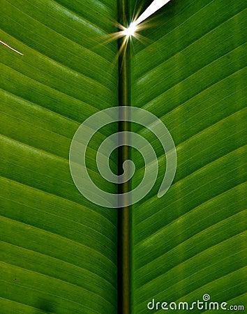 Wild Banana Leaf