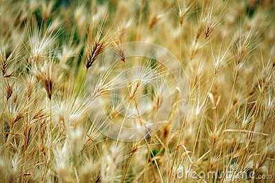 Wild barley summer field