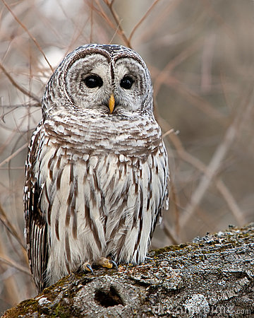 Wild Barred Owl