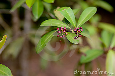 Wild Berries Stock Photos - Image: 10755973