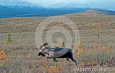 Wild Big Bull Moose