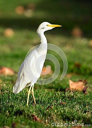 Free Wild Bird Cattle Egret Oahu Hawaii Native Animal Wildlife Stock Images - 64087364