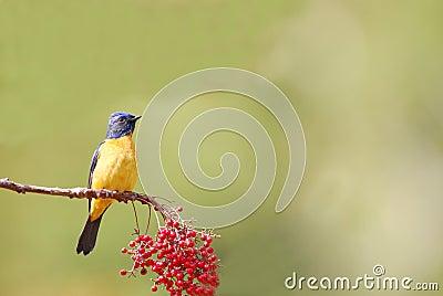 Wild bird (niltava vivid)