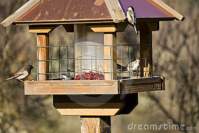Wild Birds in Winter on Feeder