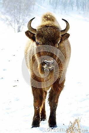 Free Wild Bison Royalty Free Stock Image - 19585736