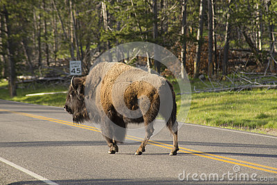 Wild Bison obeying a speed sign.