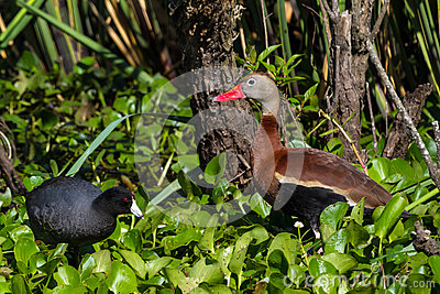 A Wild Black-bellied Whistling Ducks (Dendrocygna autumnalis) Feeding in the Water Hyacinth with a Black Coot.