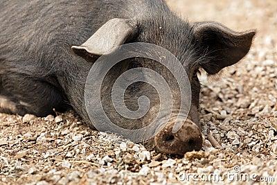 Wild black pig