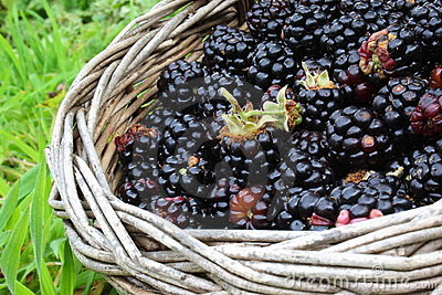 Wild blackberries in basket