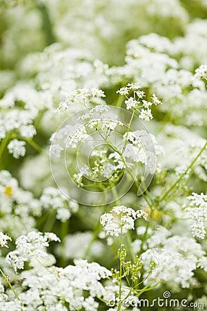 Wild blommor