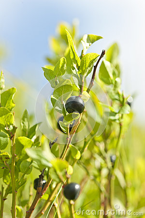 Wild blueberries macro