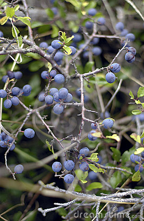Wild blueberries ripening
