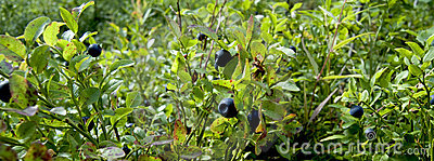 Wild Blueberry Plants Panorama