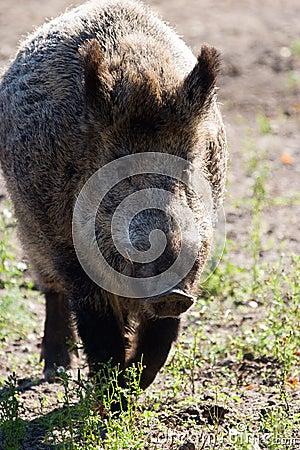 Free Wild Boar Royalty Free Stock Photos - 11030708