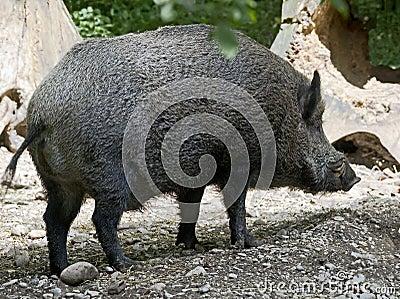 Wild boar 6