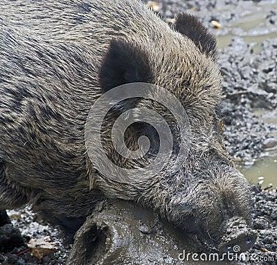 Wild boar 8
