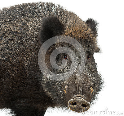 Wild boar, also wild pig, Sus scrofa
