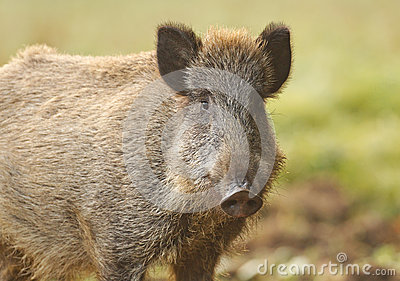 Wild boar in autumn