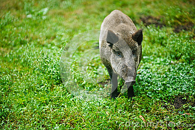 Wild boar on background of green