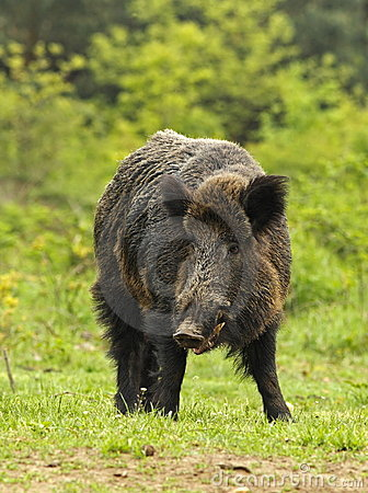Wild boar on a clearing