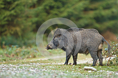 Wild boar crossing