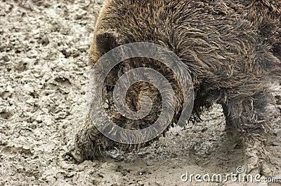 Wild boar detail