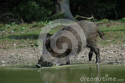 Wild boar is drinking