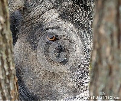 Wild boar eye.