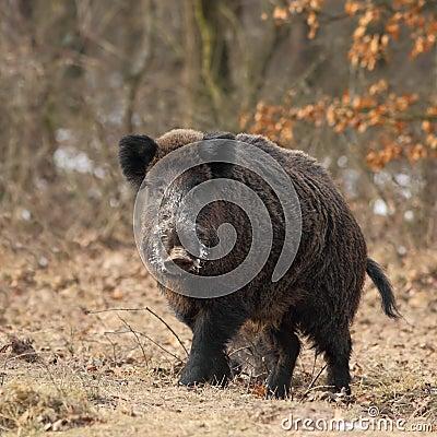 Wild boar face to face 3.