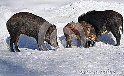 Wild-boar family