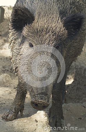 Wild boar female (Sus scrofa)