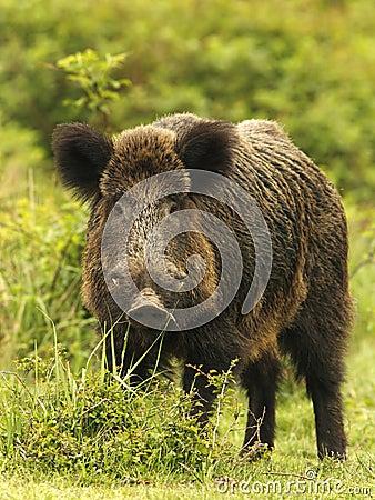 Wild boar in grass