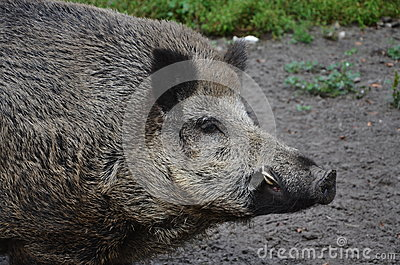 Wild boar-head