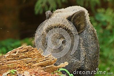 Wild boar hiding
