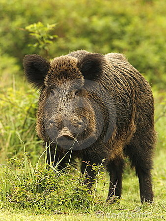 Free Wild Boar In Grass Stock Image - 20670701